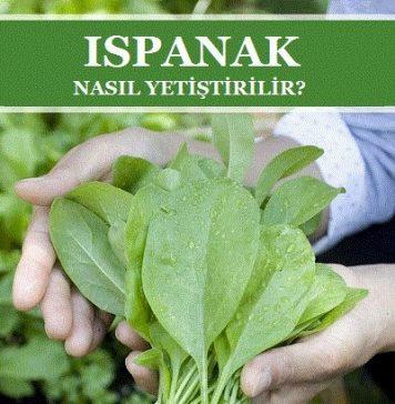 Ispanak ne zaman ekilir, ıspana nasıl ekilir