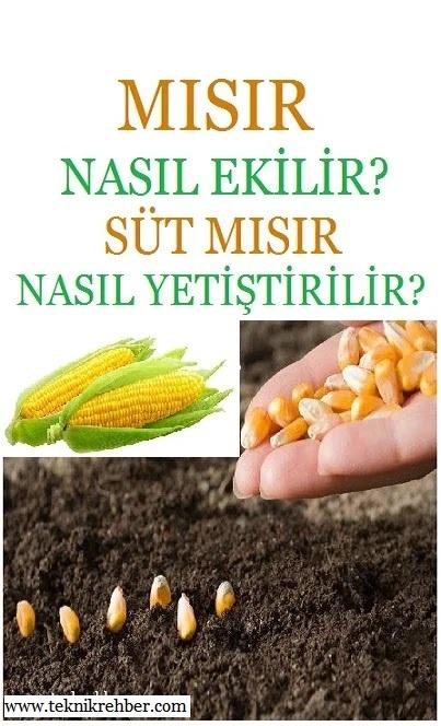 Mısır nasıl ekilir, mısır nasıl yetiştirilir, mısır ne zaman ekilir?
