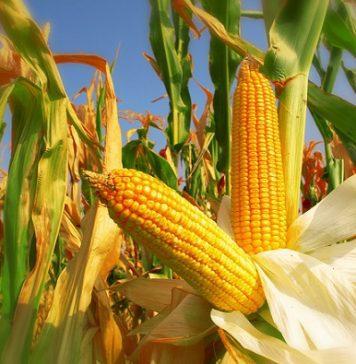 mısır tohumu ne zaman ekilir
