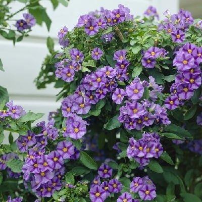 Balkon için çiçek önerileri