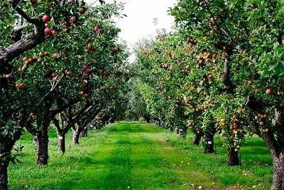 meyve ağacı dikim aralığı