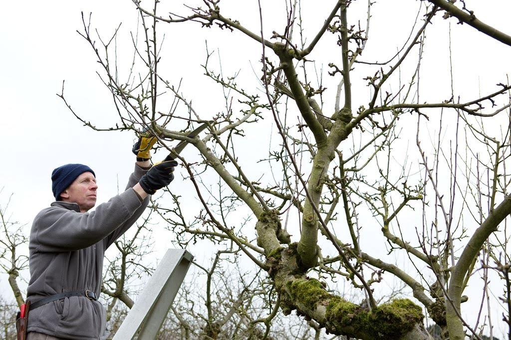 meyve ağacı budama